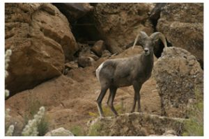 Photo: Big Horn Sheep, Courtesy of Ouzel Outfitters
