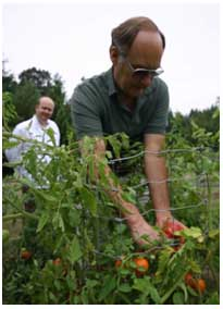 Lee Does works on harvesting fresh heirloom tomatoes.