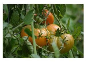 Tomatos on the vine.