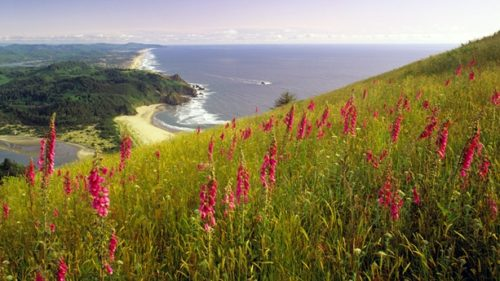 Wild foxglove blooms on Cascade Head overlooking the coastline near Lincoln City. (Photo credit: Dennis Frates)
