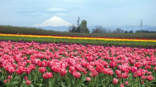 Tulips...tulips everywhere!