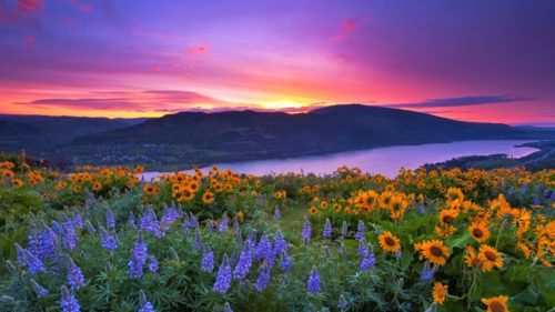 Located between the moist, heavily-forested west side of the Cascades and the drier bunch grass prairies of the east, Tom McCall Preserve comes into spectacular bloom every spring. (Photo credit: Jesse Estes)