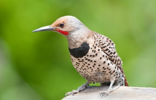 Find a new feathered friend like this Northern Flicker at one of this spring's birding festivals.