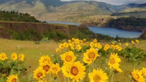 The Tom McCall Wildlife Preserve is covered in wildflowers during the spring months, including balsamroot and lupine.
