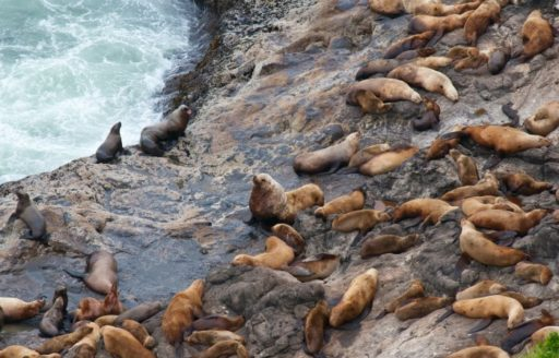 Sea Lion Caves north of Florence is one of the most accessible and dependable areas for spotting sea lions on the Oregon Coast.