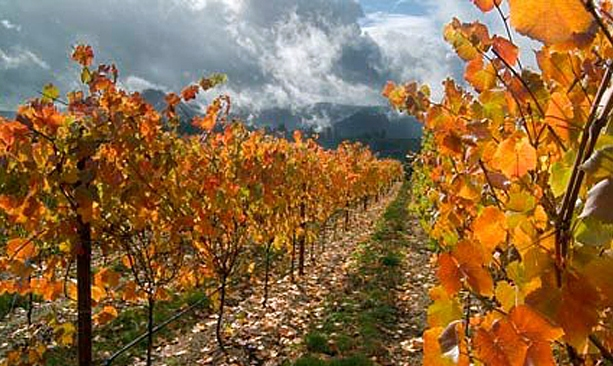 The grape vines of Brandborg Winery display bright orange leaves in fall.