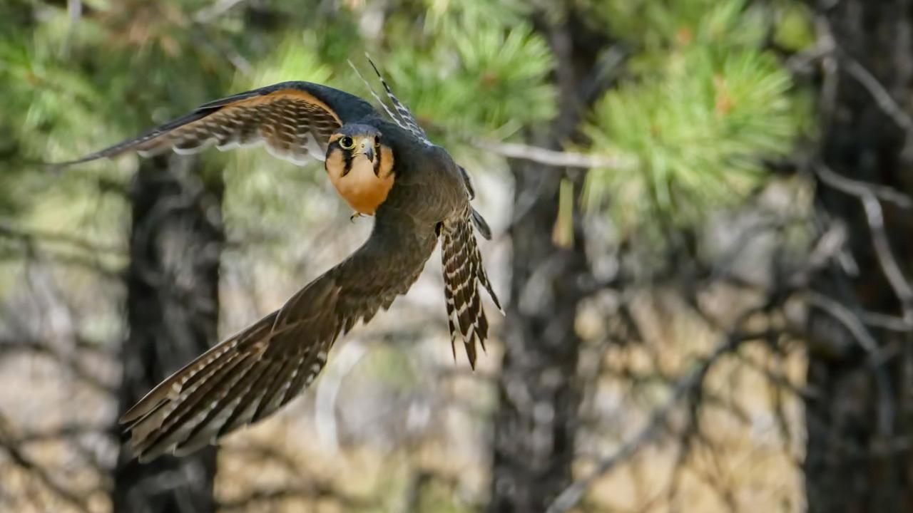 A raptor flies through its home at the High Desert Museum.