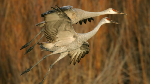 Thousands of species, such as sandhill cranes, can be spotted at the Malheur National Wildlife Refuge near Burns. (Photo credit: Getty Images)