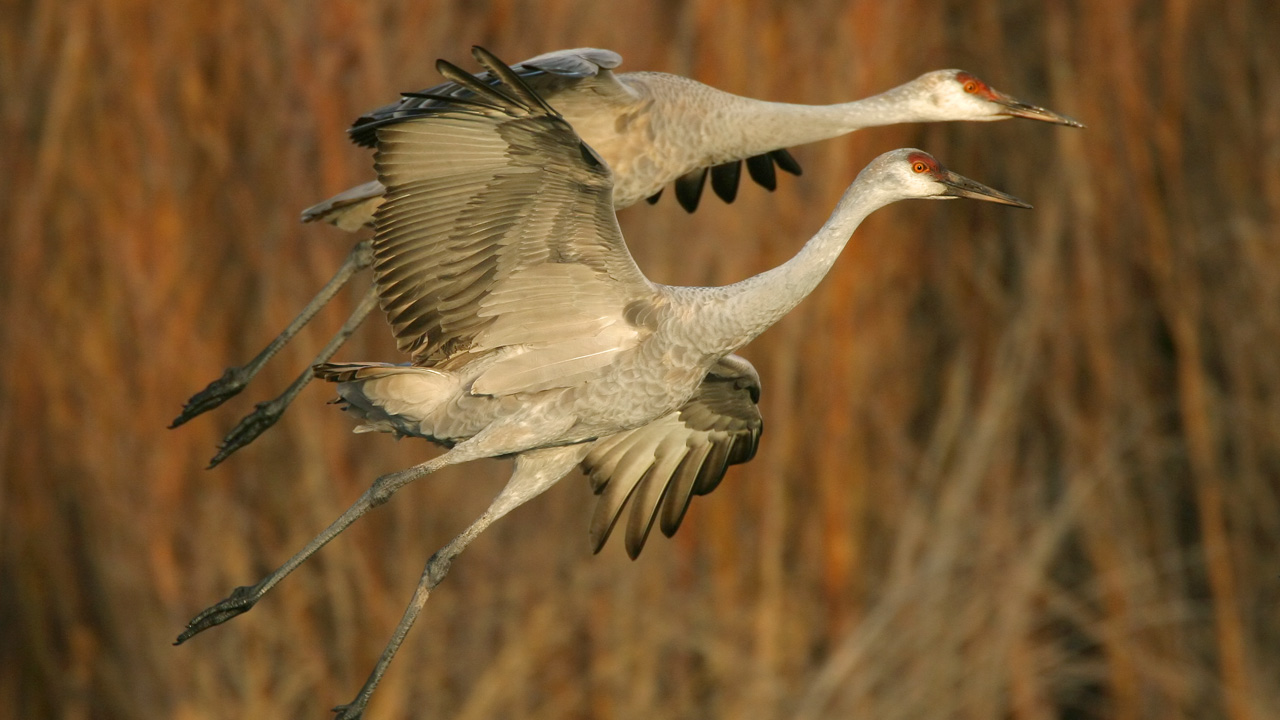 Two white sandhill cranes fly out of a marsh in Eastern Oregon.
