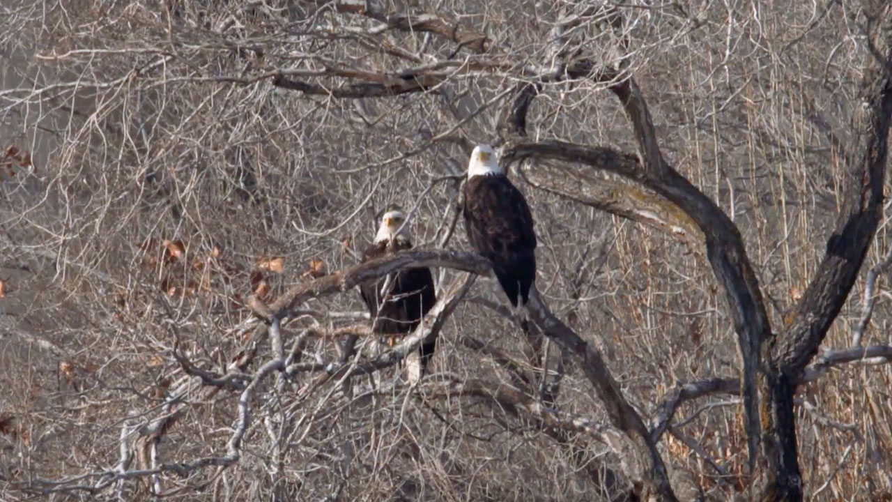Two bald eagles peer through the branches of a tree in The Dalles.