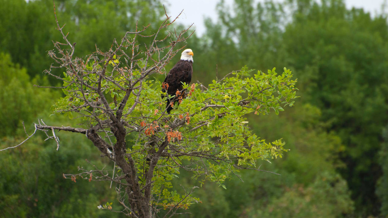 A bald eagle sits in a tree at Sauvie Island Wildlife Area.