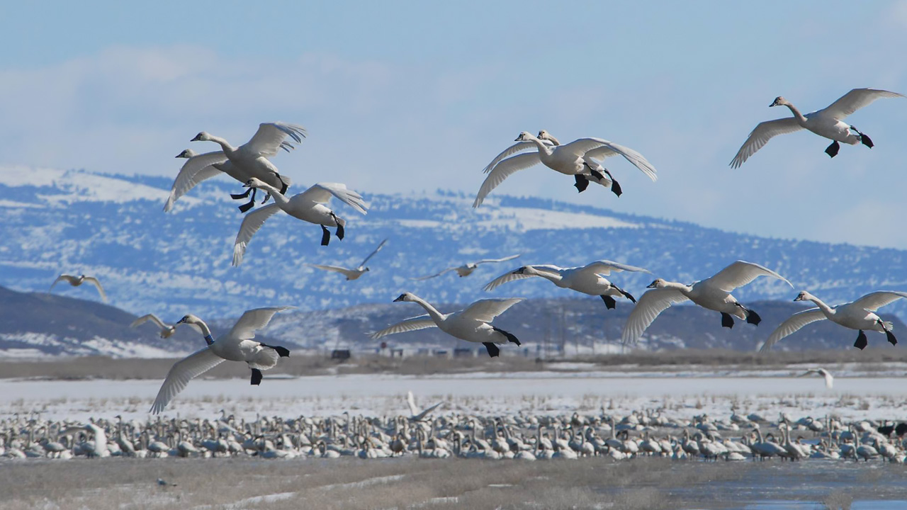 Migrating geese fly over nesting waterfowl amid a blue mountain background.