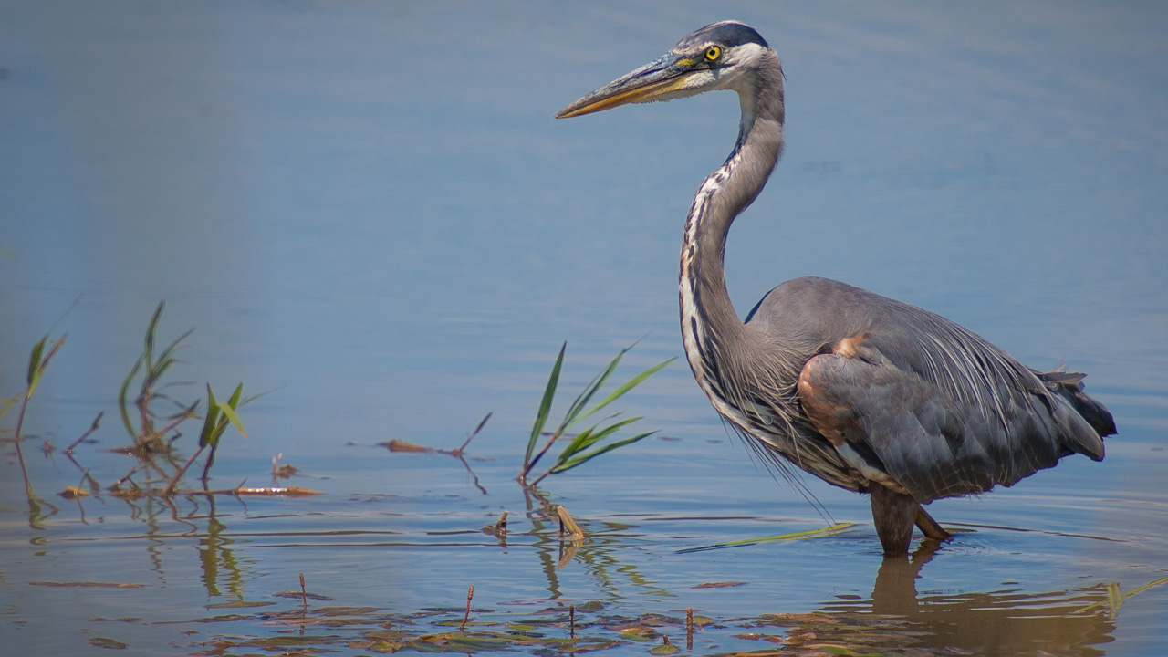A gray crane stands in the marshy waters of a wildlife refuge.