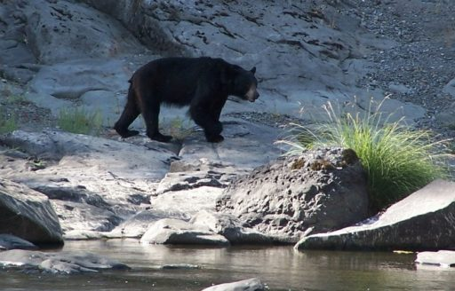 Watch the shoreline at dusk to try to spot an American black bear. (Photo credit: ARTA River Trips)