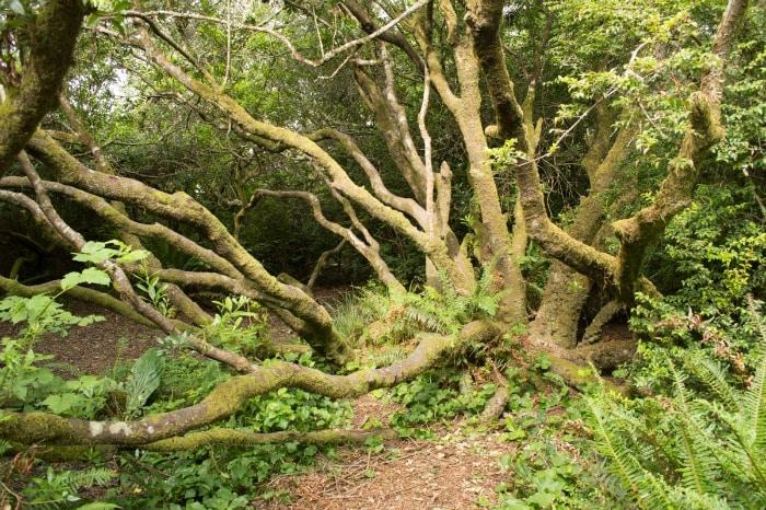 "Sitka Spruce ""octopus"" tree"