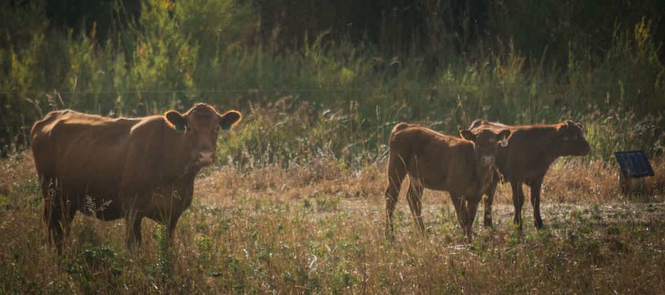 Cattle_