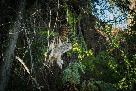 Great Horned Flying_