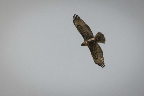 Hawk_