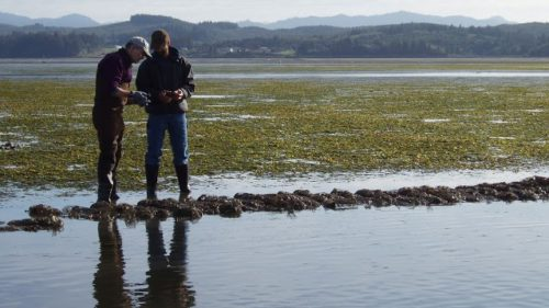 Dick Vander Schaaf monitors the health of young Olympia Oysters. (Photo credit: Stephen Anderson/TNC)