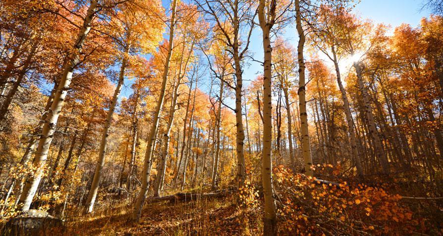 14---Aspen-grove