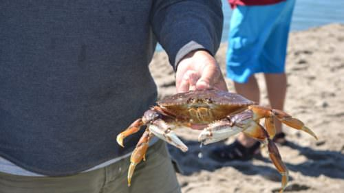 Learn how to harvest, clean and cook crabs during Lincoln City's four crabbing clinics set for this summer. (Photo credit: Lincoln City Visitors Bureau)