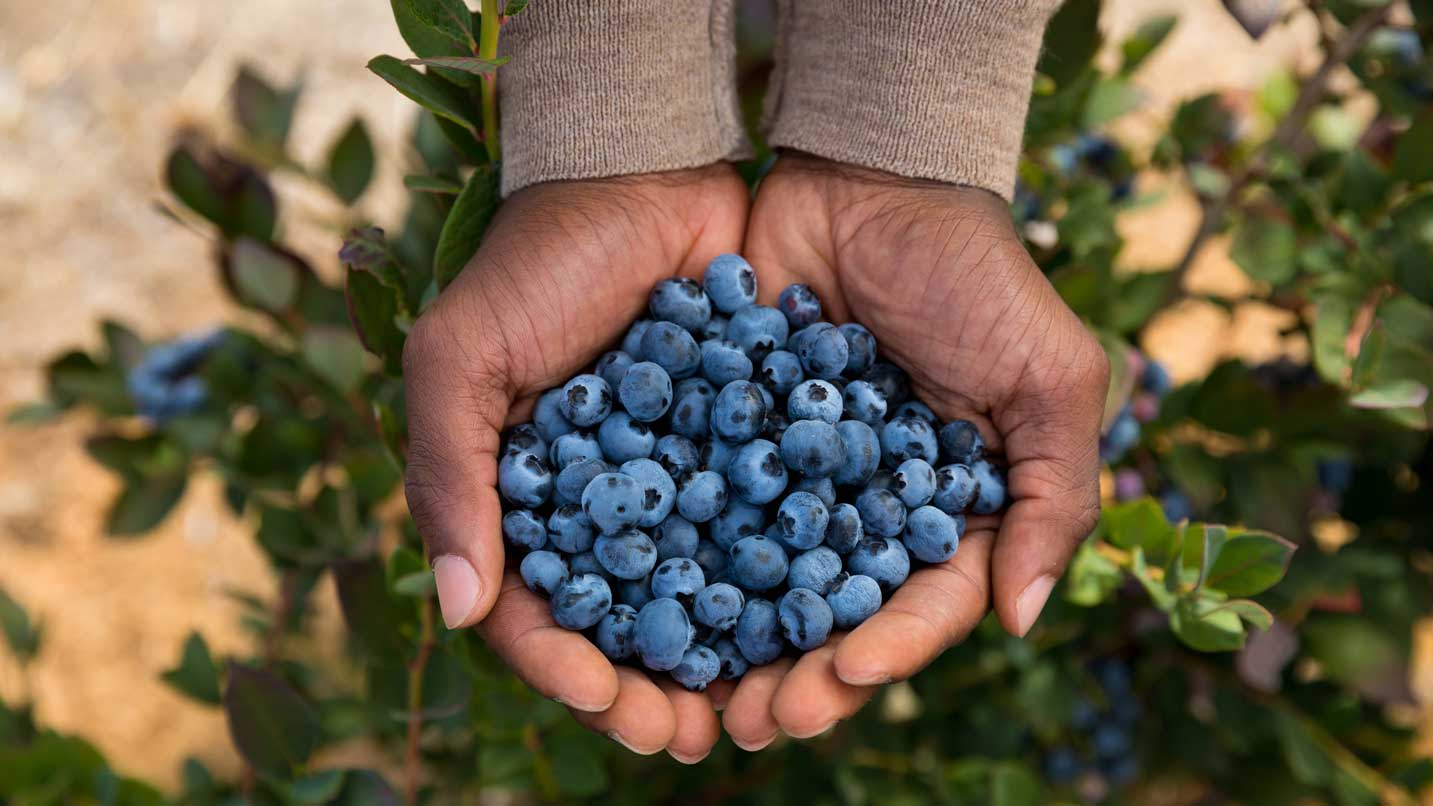 Two hands hold dozens of blueberries.