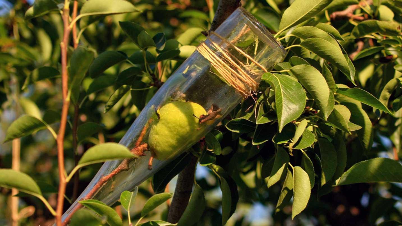 A pear grows inside a bottle.