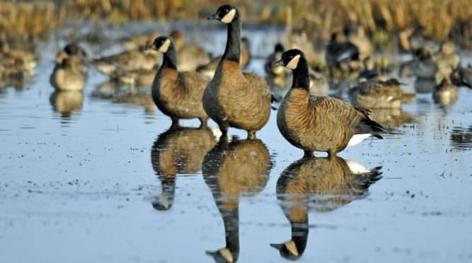 Dusky Canada geese at Ankeny National Wildlife Refuge