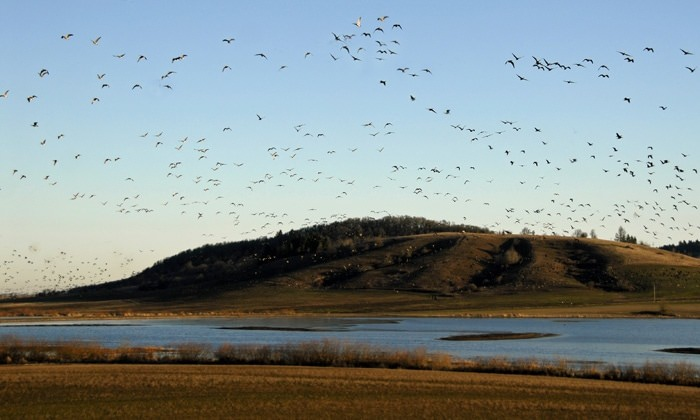 Waterfowl flying over the Baskett Slough National Wildlife Refuge