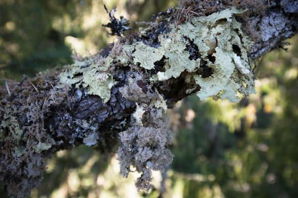 Lichen on tree branch
