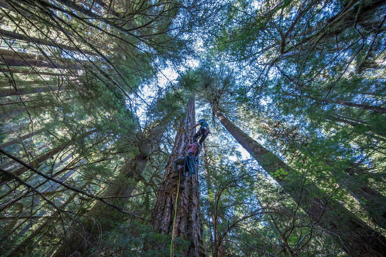 View from the ground as two climbers scale a tall tree