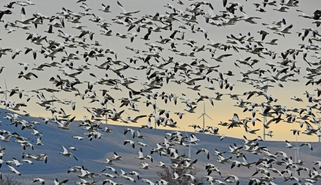 Huge flock of snow geese flying at the McNary National Wildlife Refuge