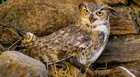 KlamathBirding_owl3