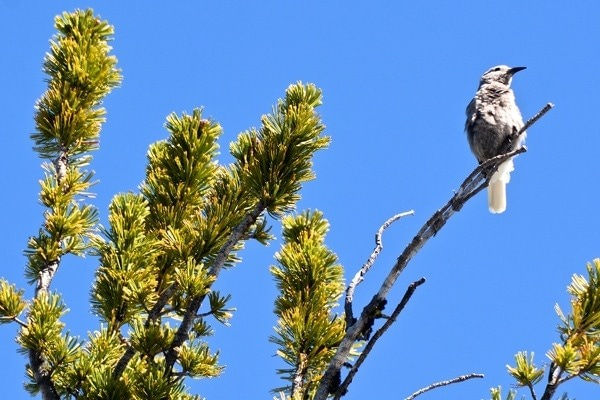 Clark's Nutcracker in a Whitebark Pine
