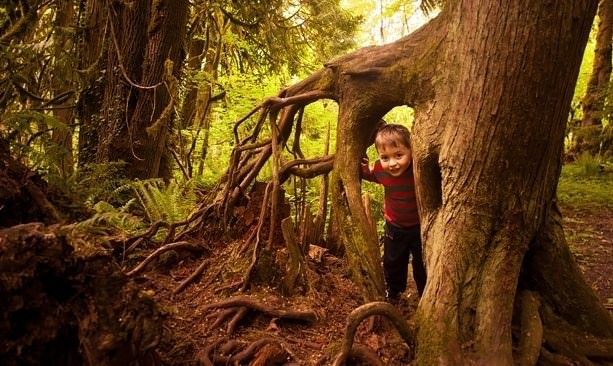Kid peeking in between tall tree roots