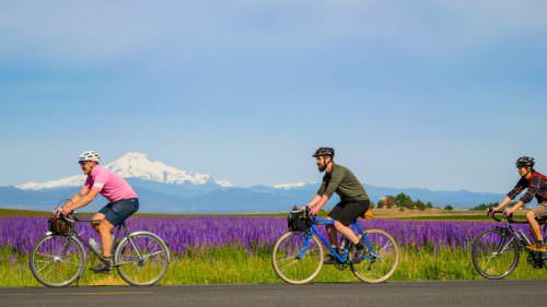 Riding by a field of lupine on Elbe Dr with a view of Mt. Jefferson in the distance.