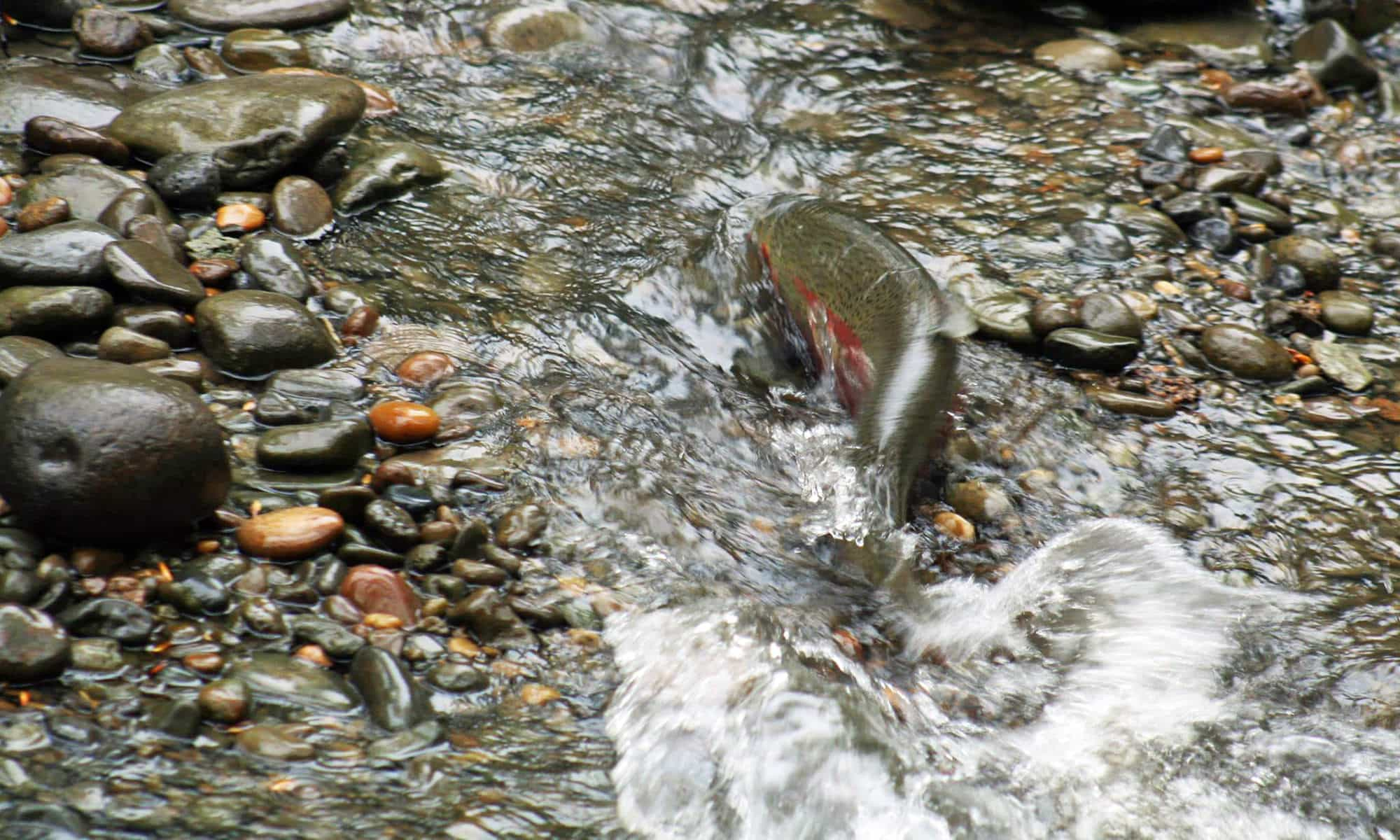 Fish swimming upstream