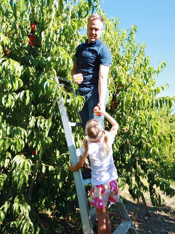 Dad on ladder passing peaches from tree to daughter