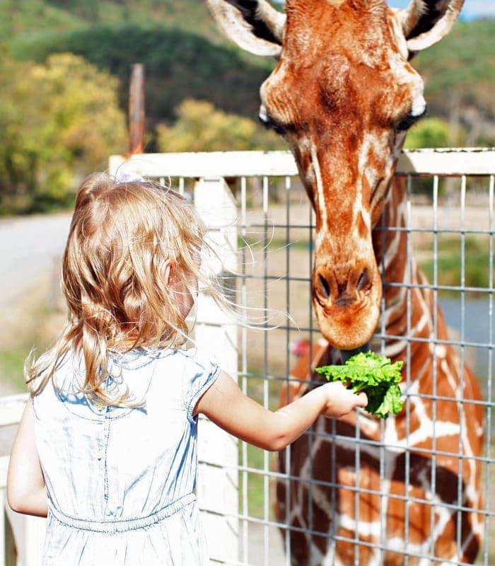 Girl feeding giraffe at Wildlife Safari in Winston