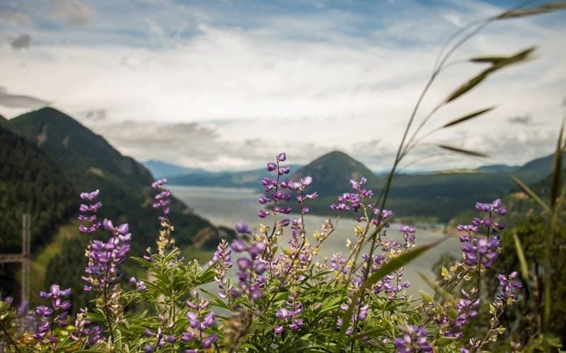 Purple wildflowers with Columbia River in background