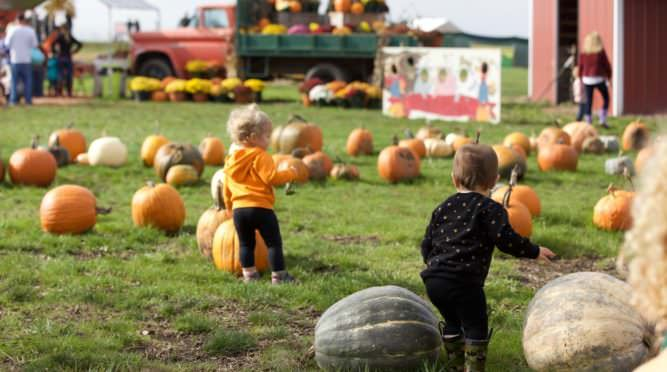Toddler walk in a field of pumpkins.