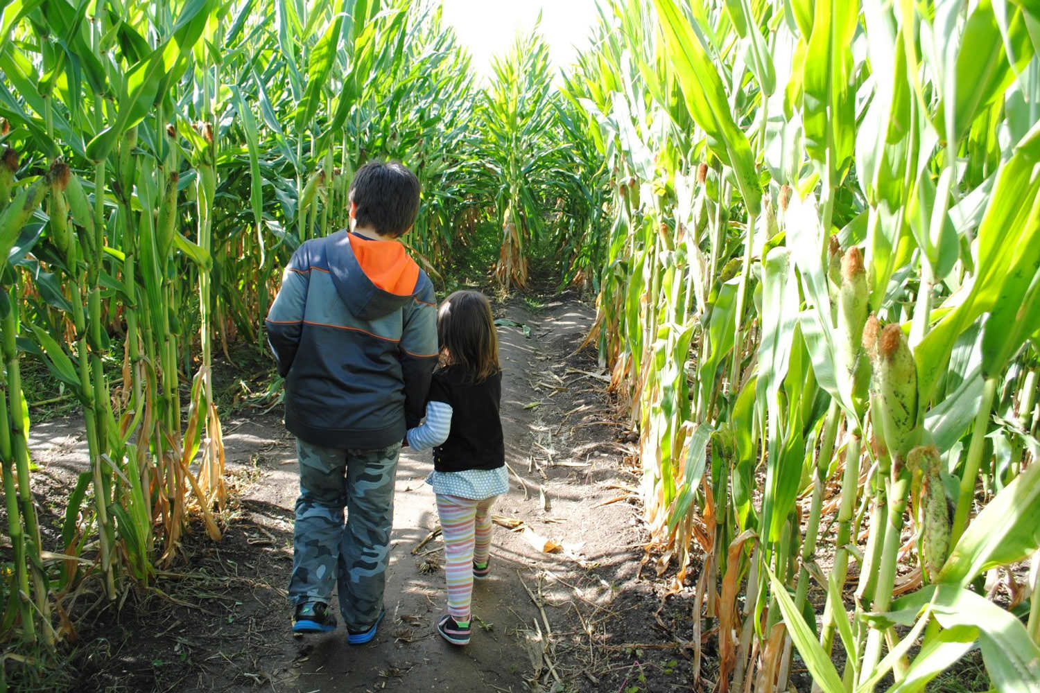 Two young children walk through a corn maze taller than them.