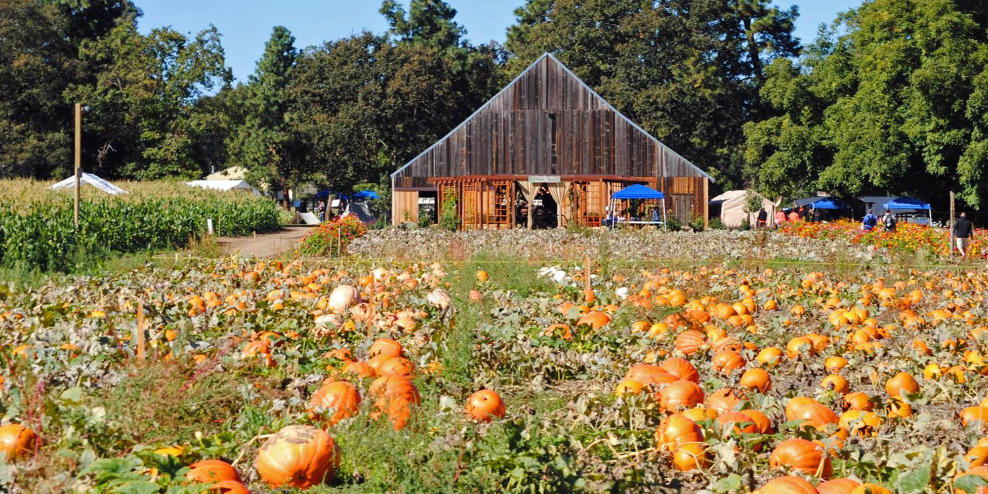 Dozens of pumpkins look ready for picking in a quaint farm field.