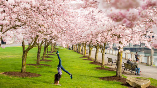 Portland cherry blossoms by NashCO Photo