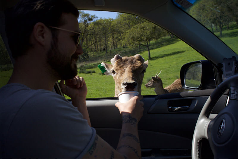 Feed animals from your car window at Wildlife Safari.