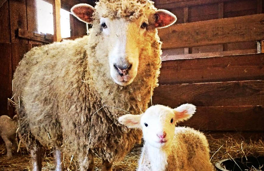 An ewe and her lamb stare at the camera