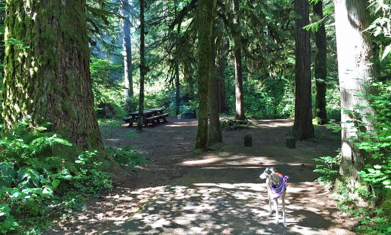 A dog looks around the shaded forest campground.
