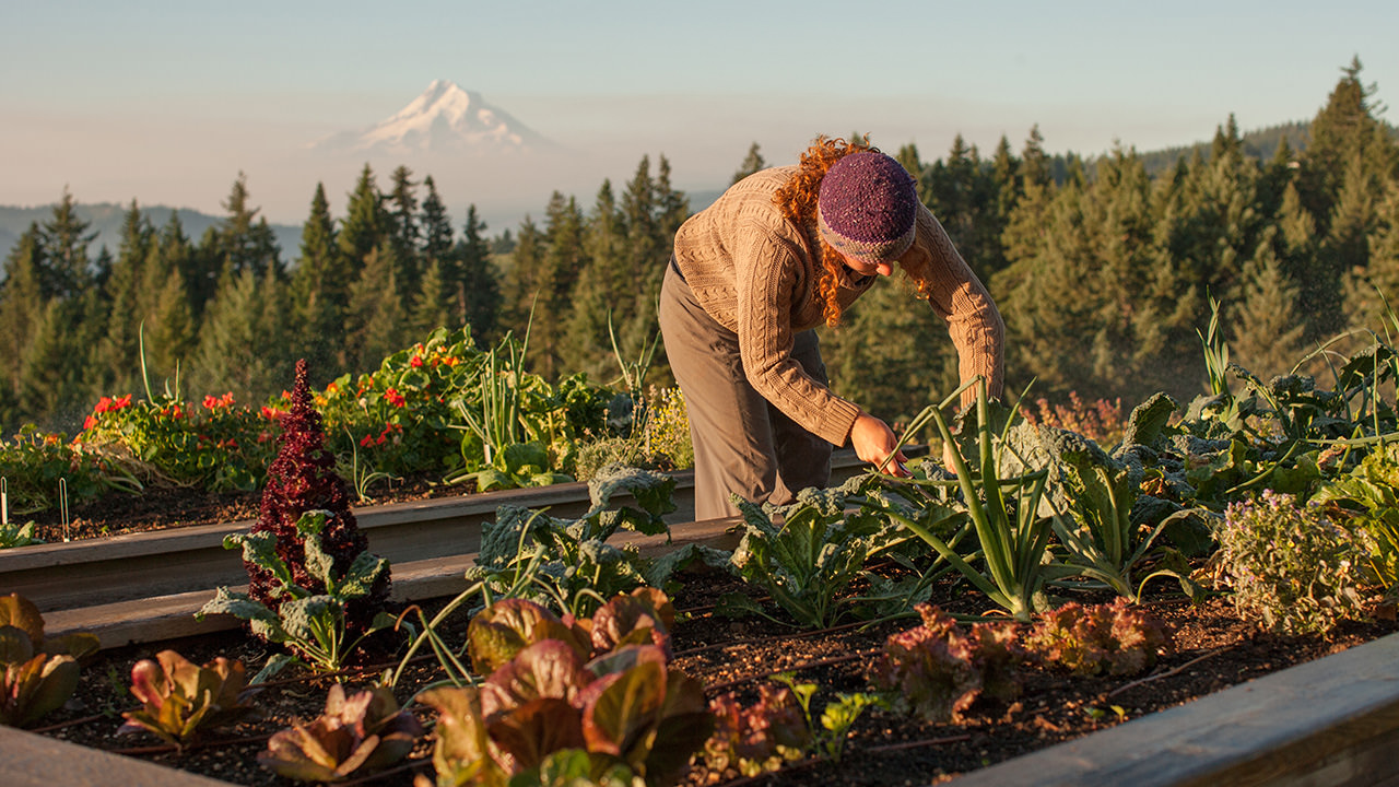 A person works in a raised vegetable garden with Mt. Hood in the distance