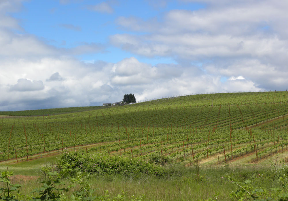 Wine grape vines are seemingly neverending on the Benton-Lane Winery property.
