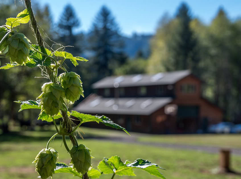 A vine of hops is the focal point of the photo, with a barn in the distance.